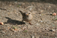 Sparrow Photo Gallery 1 (Ankara, Lake of Eymir)