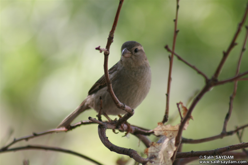 Sparrow Photo Gallery 3 (Ankara, Lake of Eymir)