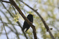 Starling Photo Gallery (Ankara, Lake of Eymir)