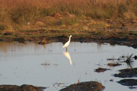Little Egret Photo Gallery 1 (Samsun)