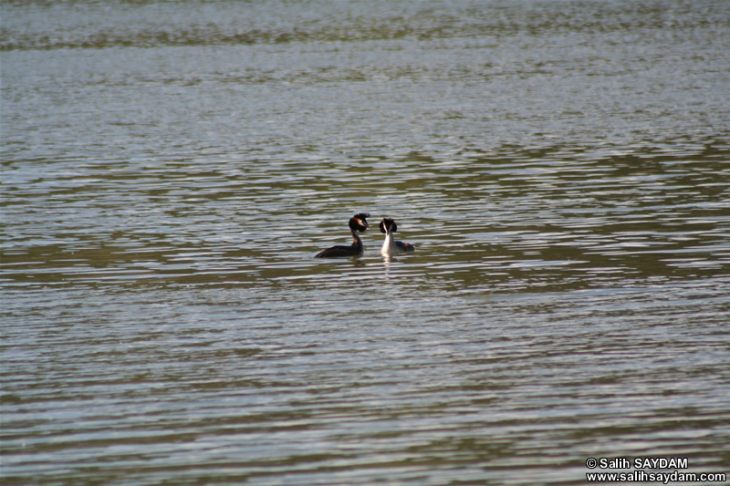 Great Crested Grebe Photo Gallery 1 (Ankara, Lake of Eymir)