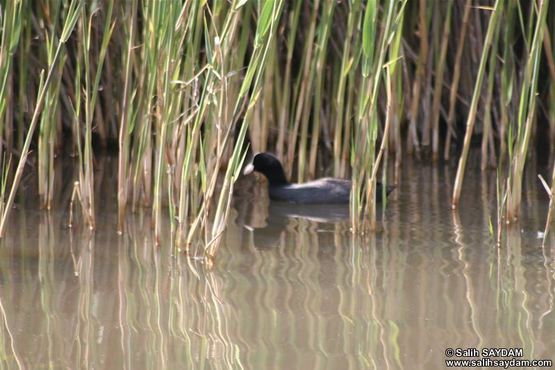 Coot Photo Gallery 1 (Ankara, Lake of Eymir)