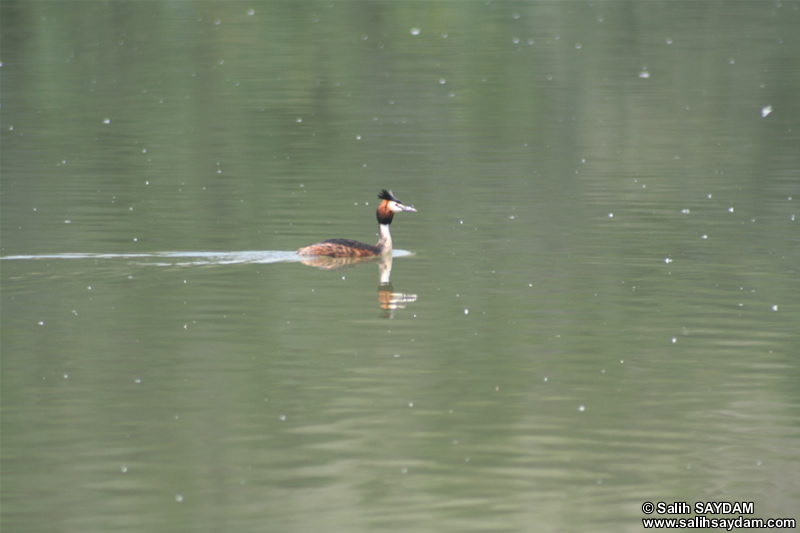 Great Crested Grebe Photo Gallery 2 (Ankara, Lake of Eymir)