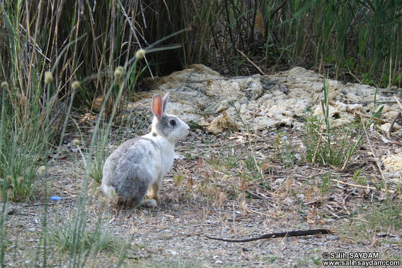 Rabbit Photo Gallery 5 (Ankara, Lake of Eymir)