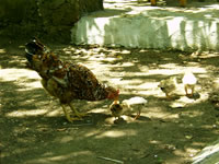 Chicken Photo Gallery 1