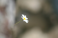Bartin Flower Photo Gallery 5 (Daisy) (Ulukaya)