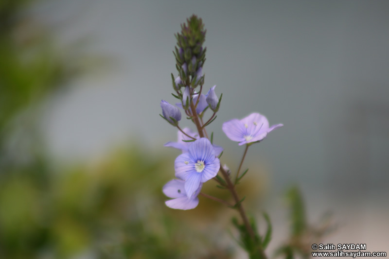 Bartin Flower Photo Gallery 6 (Ulukaya)
