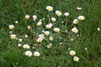 United Kingdom Flower Photo Gallery (Daisy) (Cardiff, Whales)