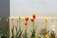 Samsun Flower Photo (Tulip) (Amisos Hill)