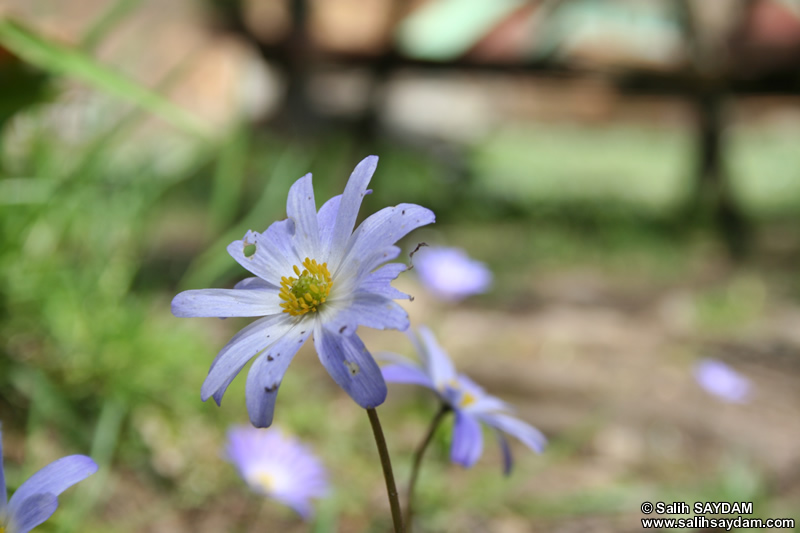 Trabzon Flower Photo Gallery 2 (Uzungol)